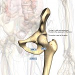 hip bones